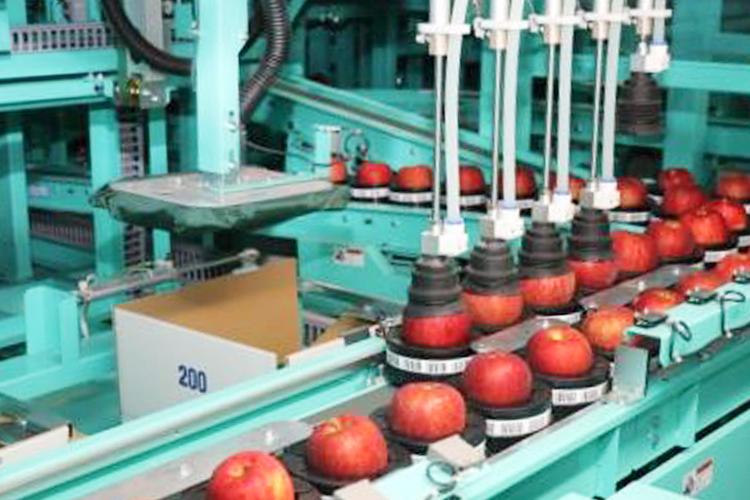 青森りんごは選果にもこだわり