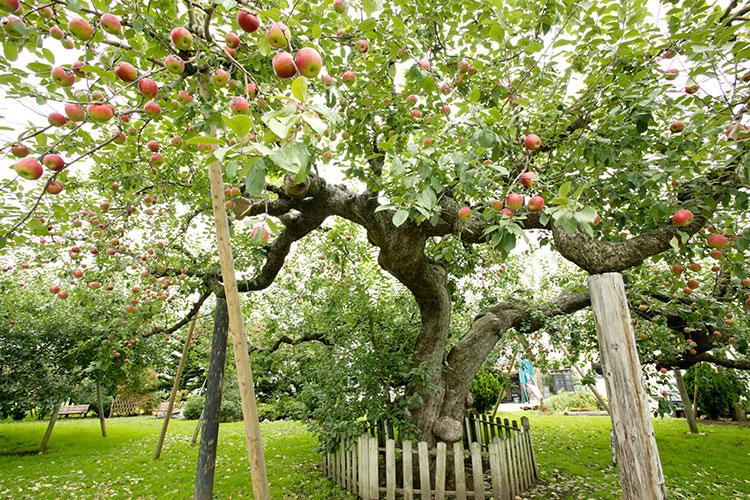 青森県つがる市・日本一の古木りんご樹