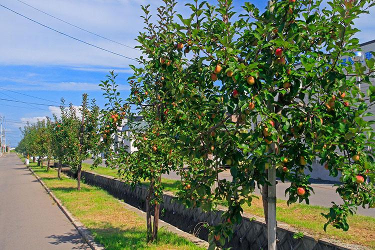 青森県五所川原市・「赤~いりんご」の並木道