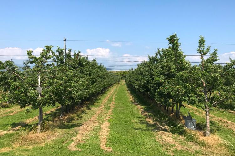 わい化栽培のリンゴ畑