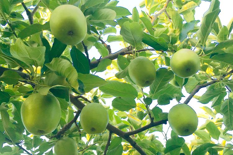 りんごの未熟果
